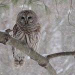 Bard Owl, New Hampshire
